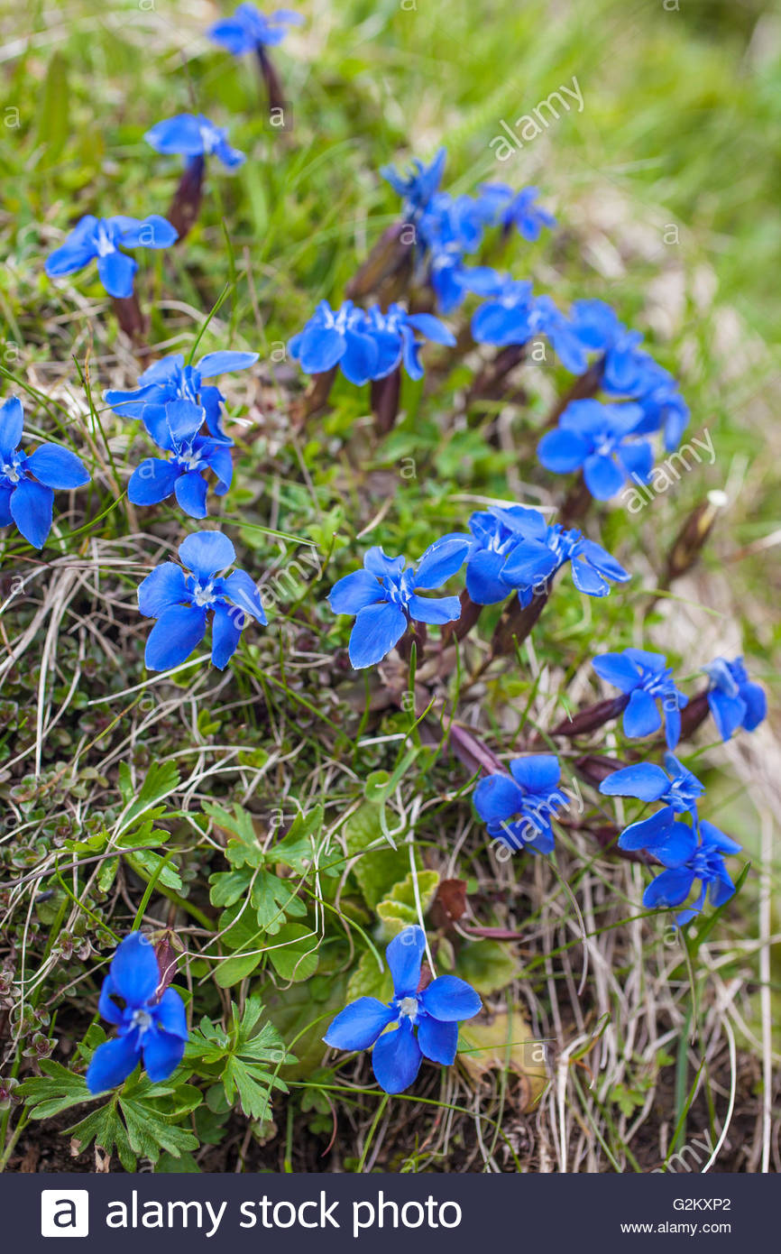 Bavarian gentian on mountain meadow in Reintal, Riva di Tures, South Tyrol, Italy - Stock Image
