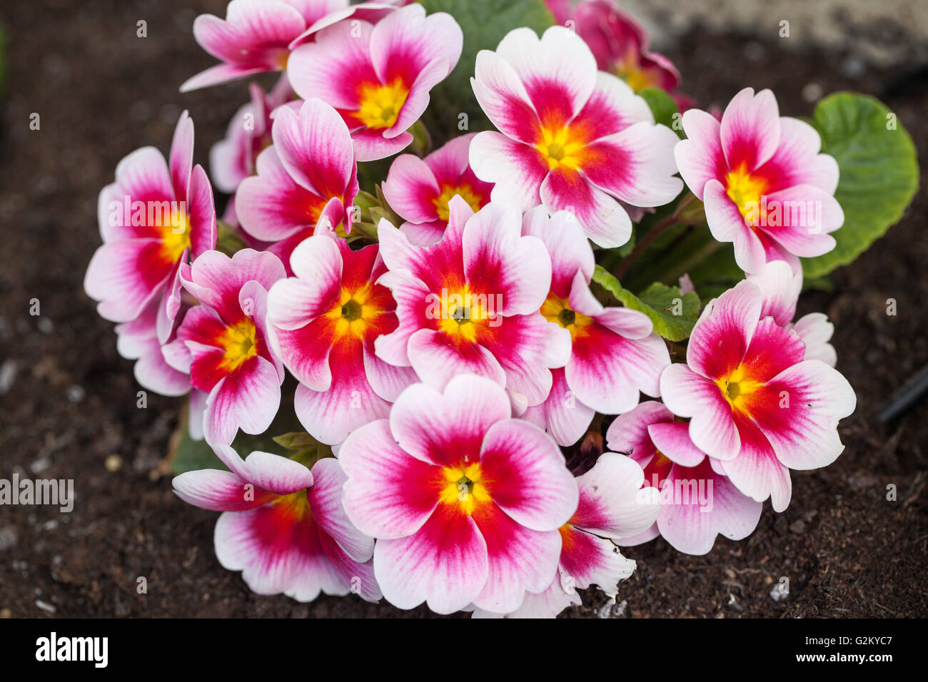 Close up of a beautiful pink primrose in an English spring garden, UK Stock Photo