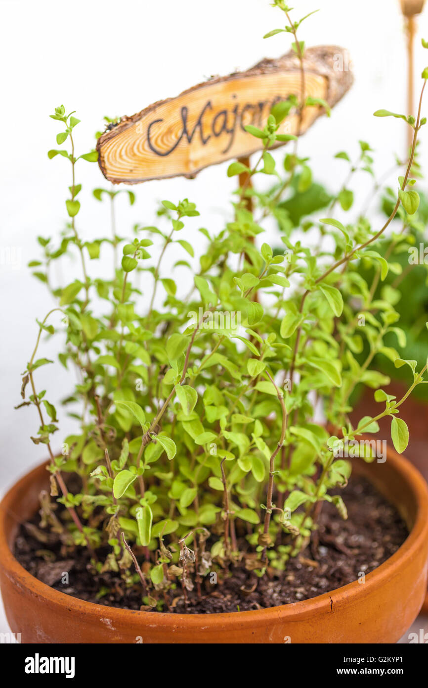 Flowerpot with marjoram plant and plate, isolated - Stock Image