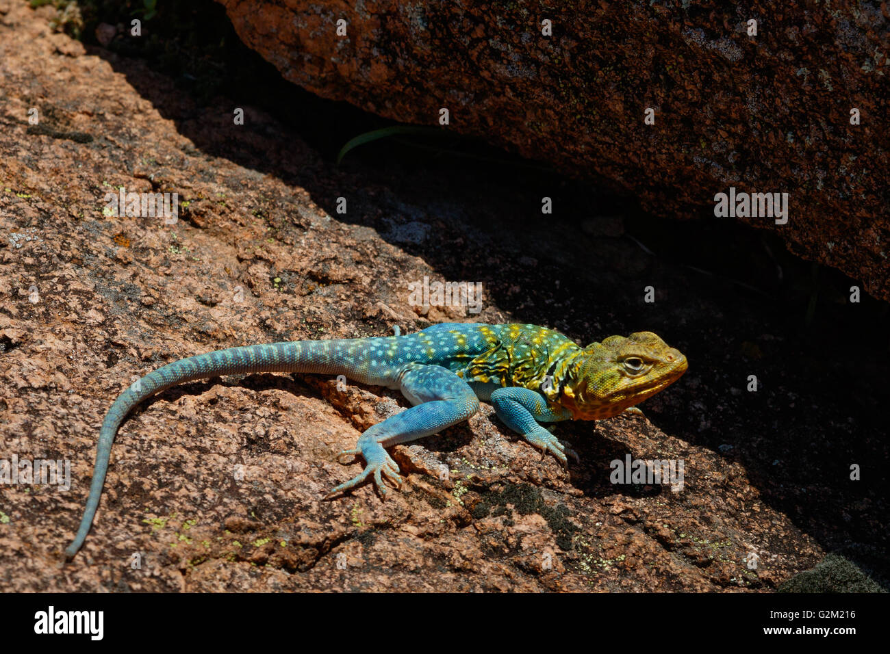 A bright turqouise Mountain Boomer (Collared Lizard) in the rocks of the Wichita Mountains in SW Oklahoma. Stock Photo