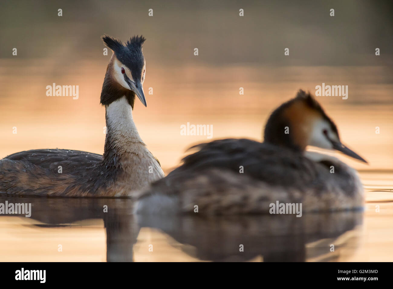 Great Crested Grebes on the lake in the evening - Stock Image