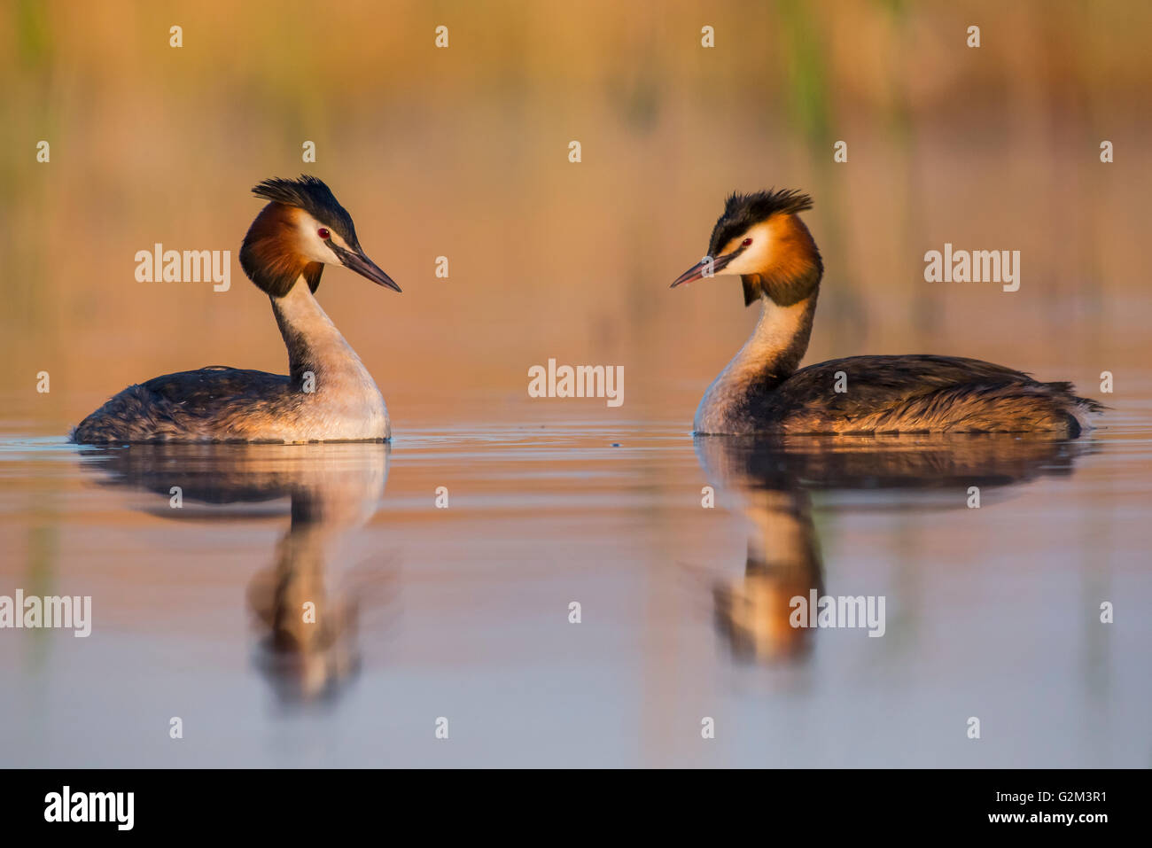 Great Crested Grebes on the lake - Stock Image