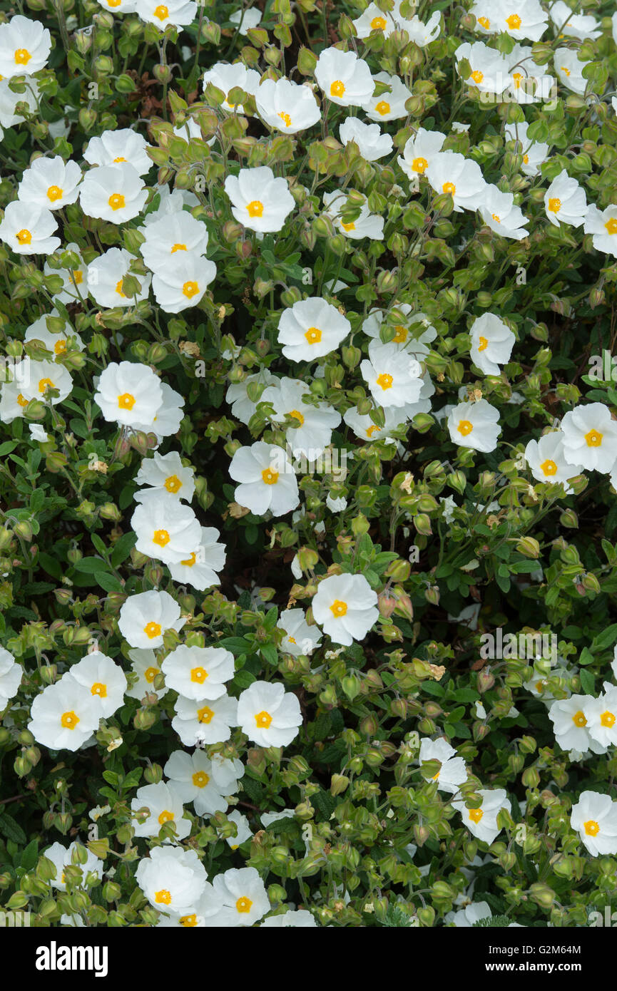 Cistus x obtusifolius thrive. Rock rose 'Thrive' flowers - Stock Image