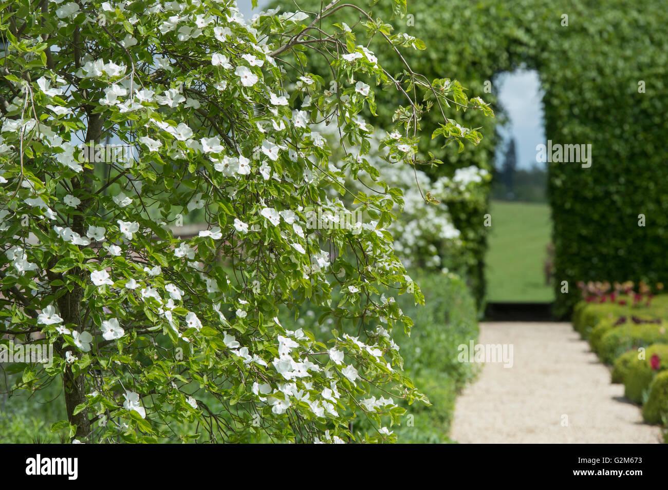 Cornus Kousa chinensis. Japanese Flowering Dogwood tree in Broughton Grange gardens, Oxfordshire, England - Stock Image