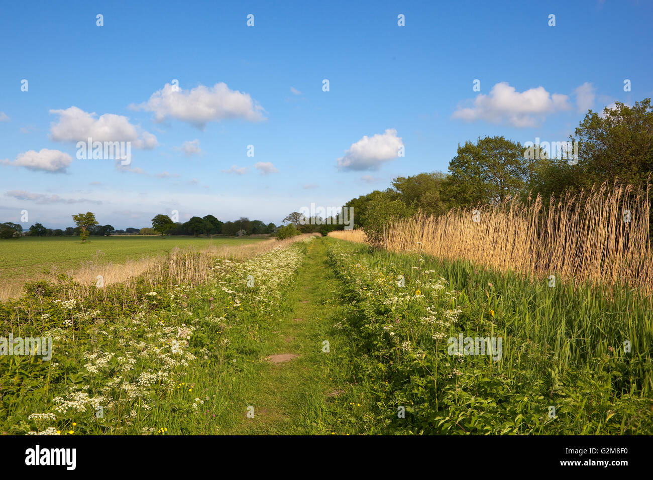 An English canal towpath in May with wildflowers trees and hawthorn hedgerows beside agricultural fields under a - Stock Image