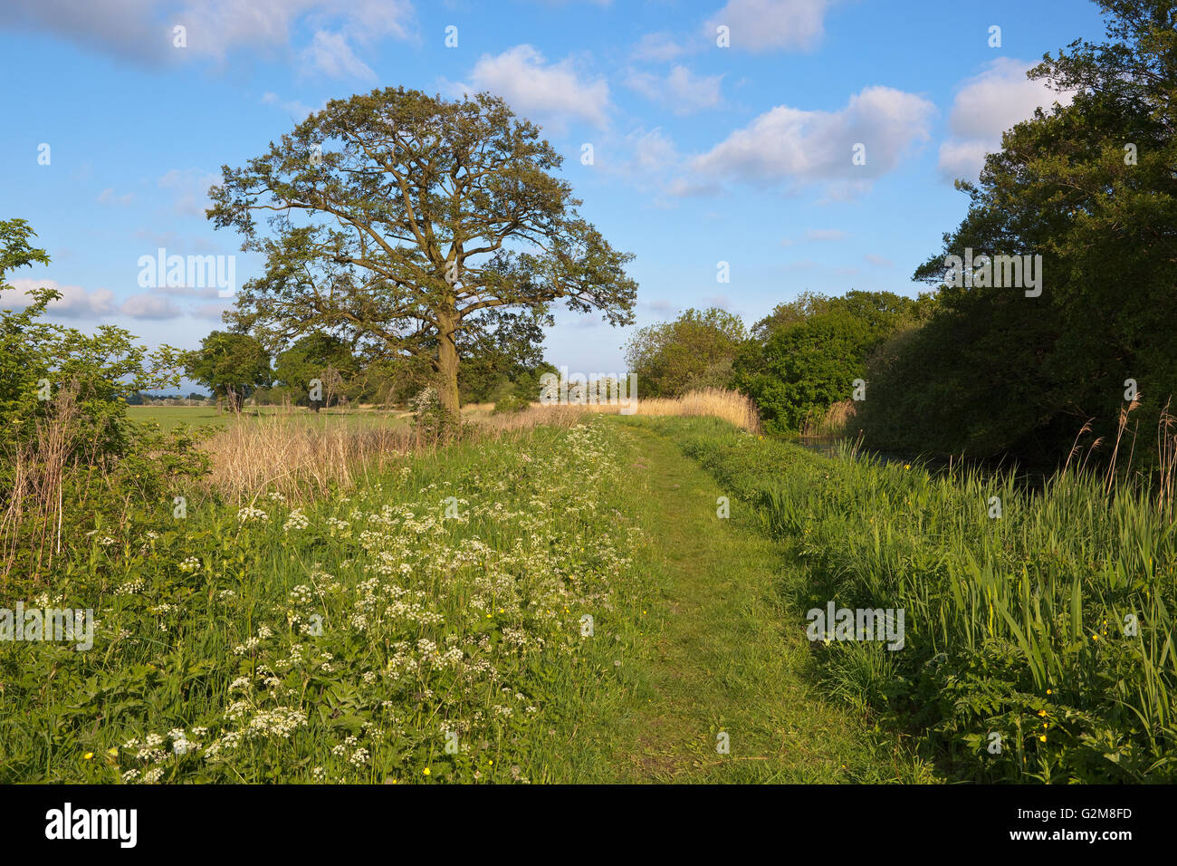 A canal towpath in May with wildflowers and an oak tree beside agricultural fields under a blue cloudy sky. - Stock Image