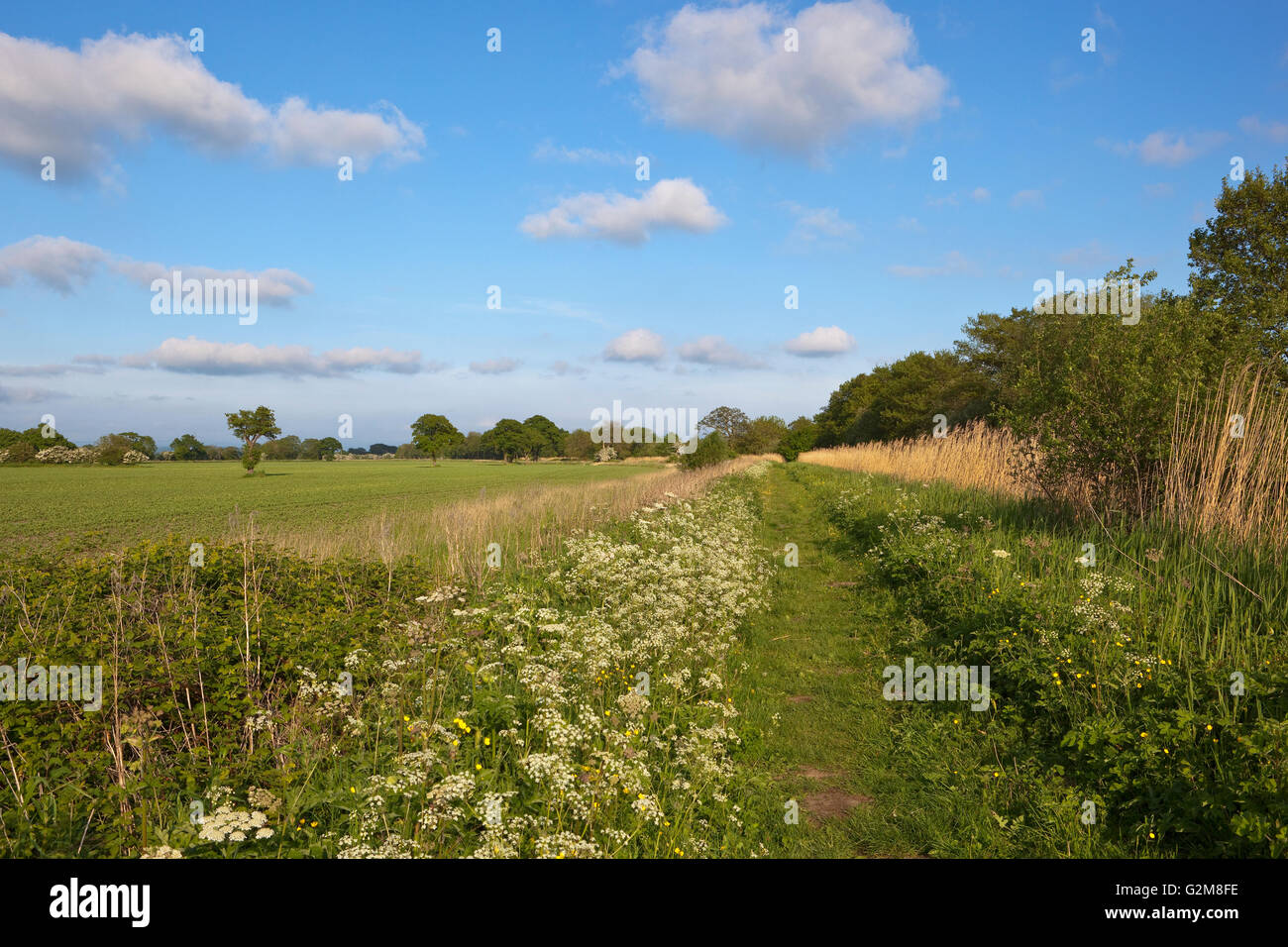 A grassy  canal towpath in may with wildflowers trees and hawthorn hedgerows beside agricultural fields under a - Stock Image