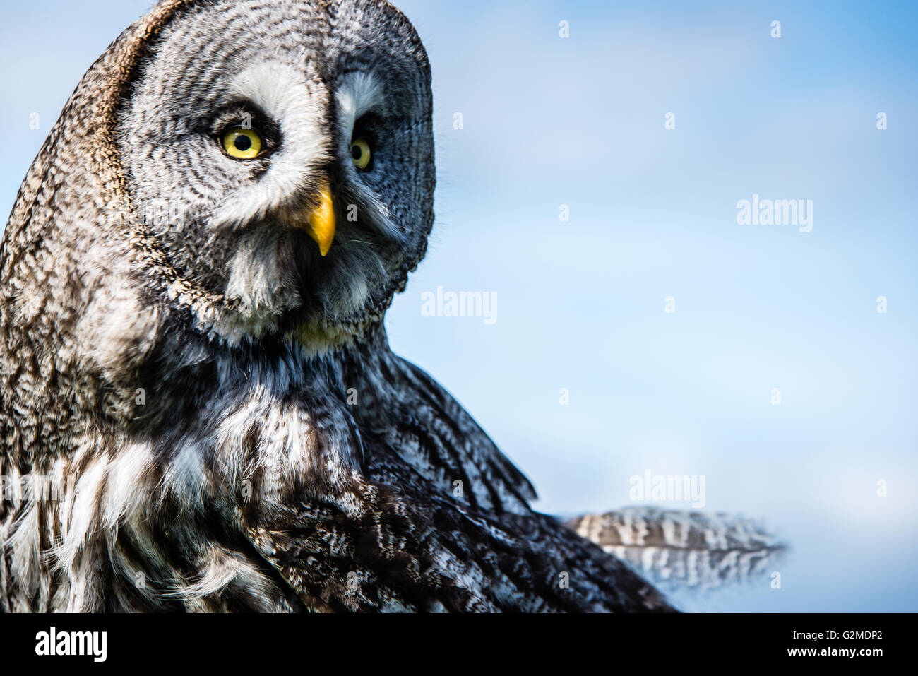 Great Grey Owl at The Welsh Mountain Zoo, Colwyn Bay, Wales. - Stock Image