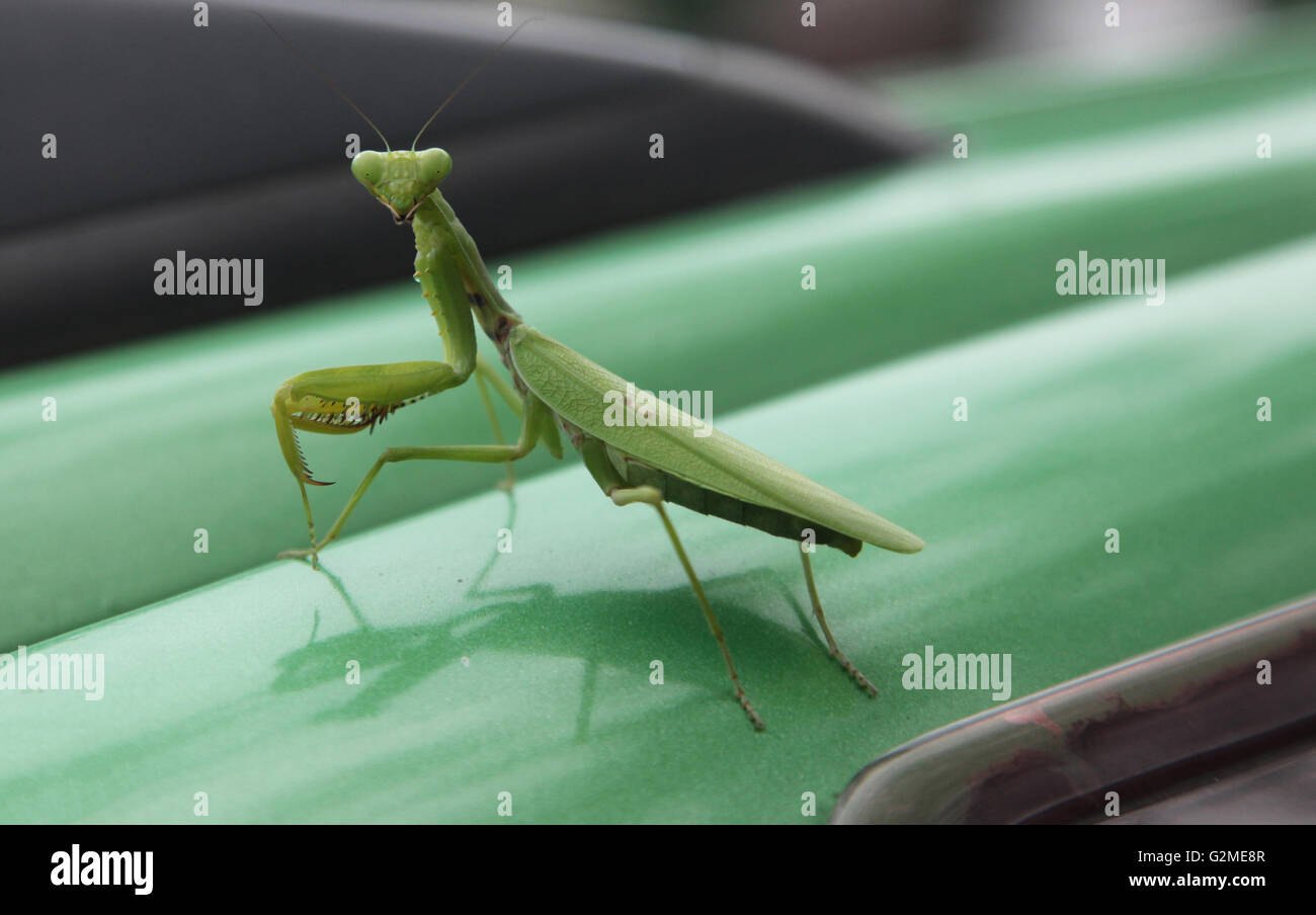 A green praying mantis photographed on the roof of a car,Cebu City,Philippines - Stock Image