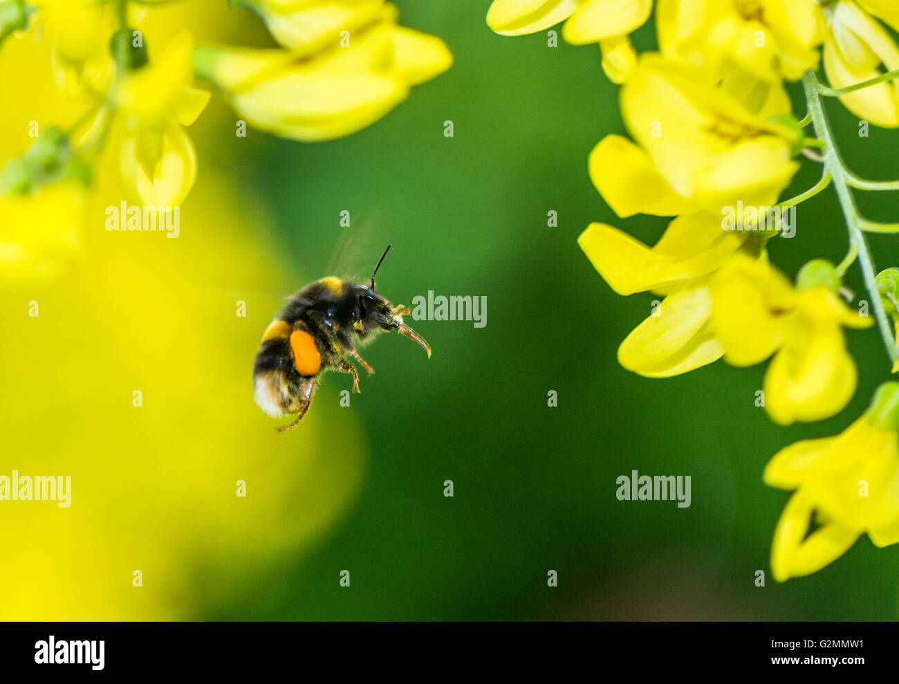 Bumble Bee with pollen sacs flying towards a yellow Laburnum flower - Stock Image