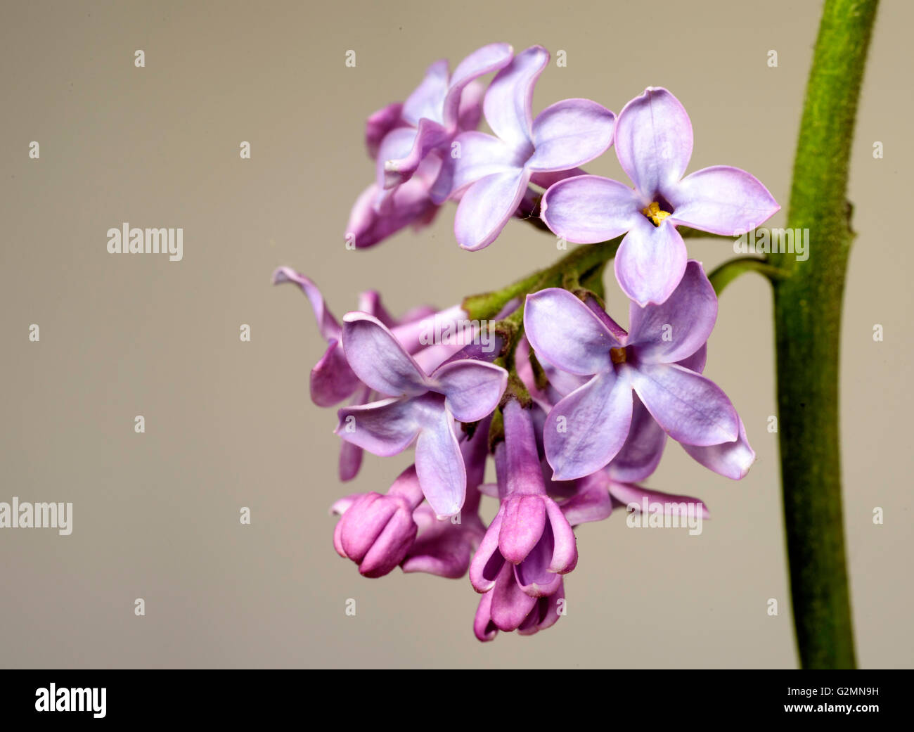 Lilac flower in full blossom set against a grey toned gardening background. - Stock Image