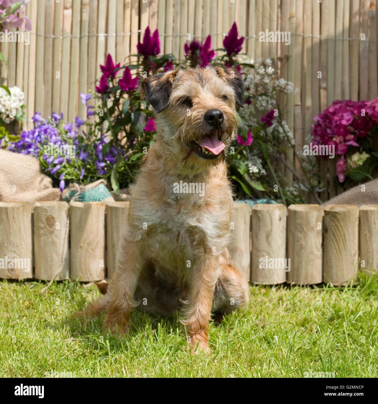 border terrier - Stock Image