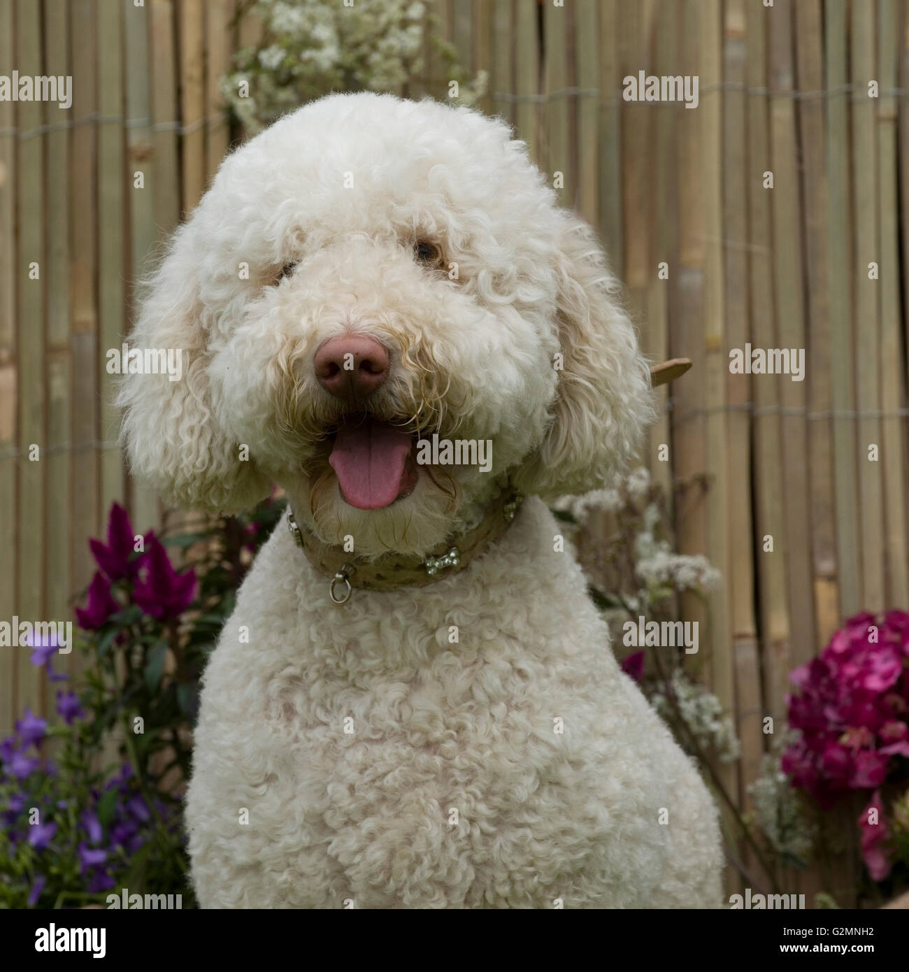 labradoodle in the garden - Stock Image