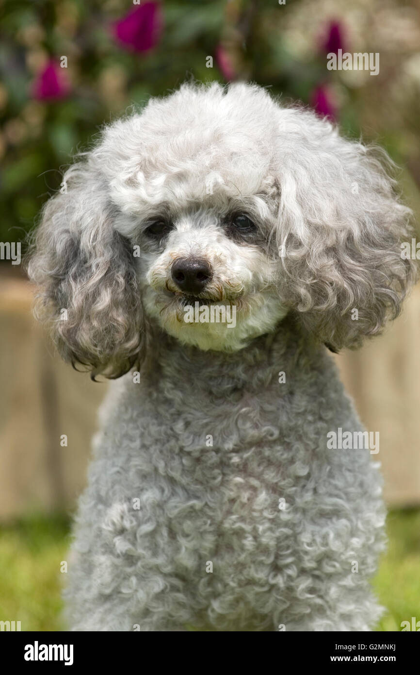 silver poodle - Stock Image
