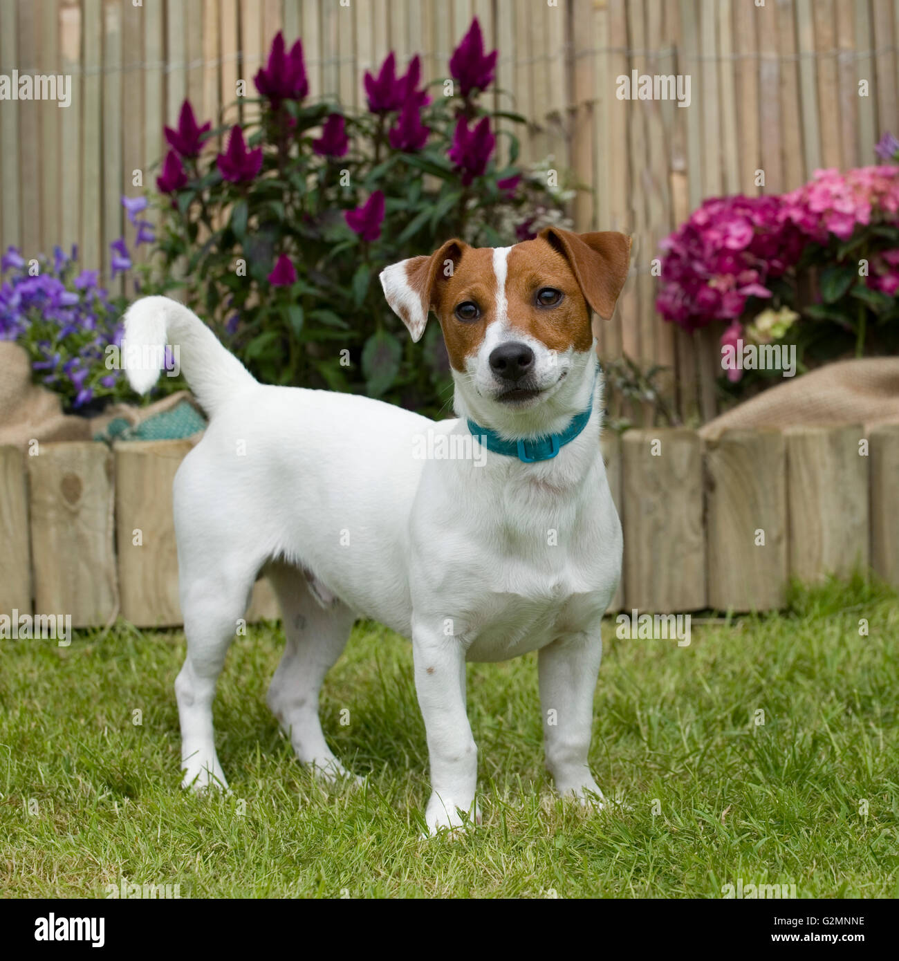 jack russell terrier - Stock Image
