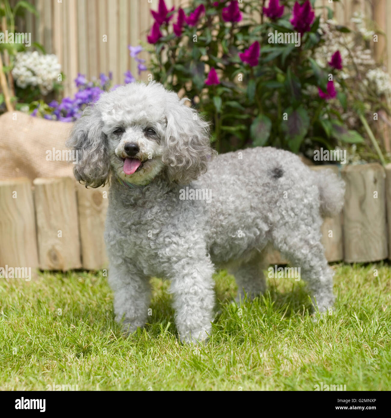 toy poodle, silver - Stock Image
