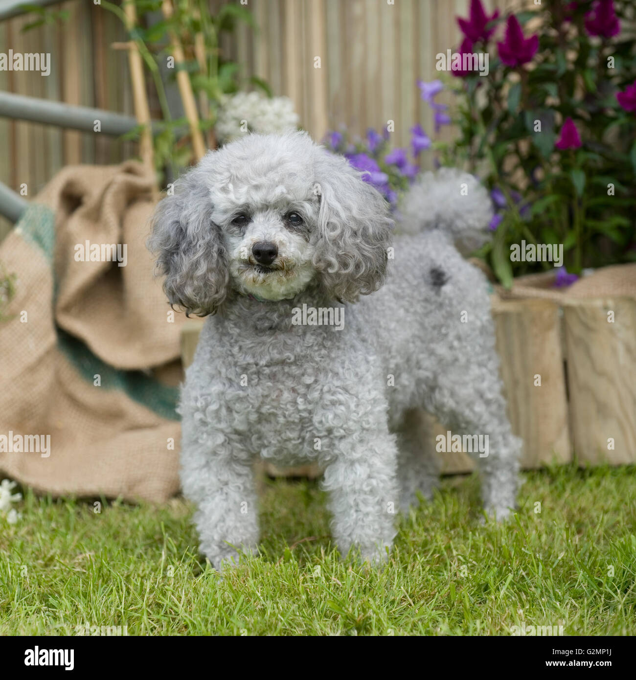 poodle - Stock Image
