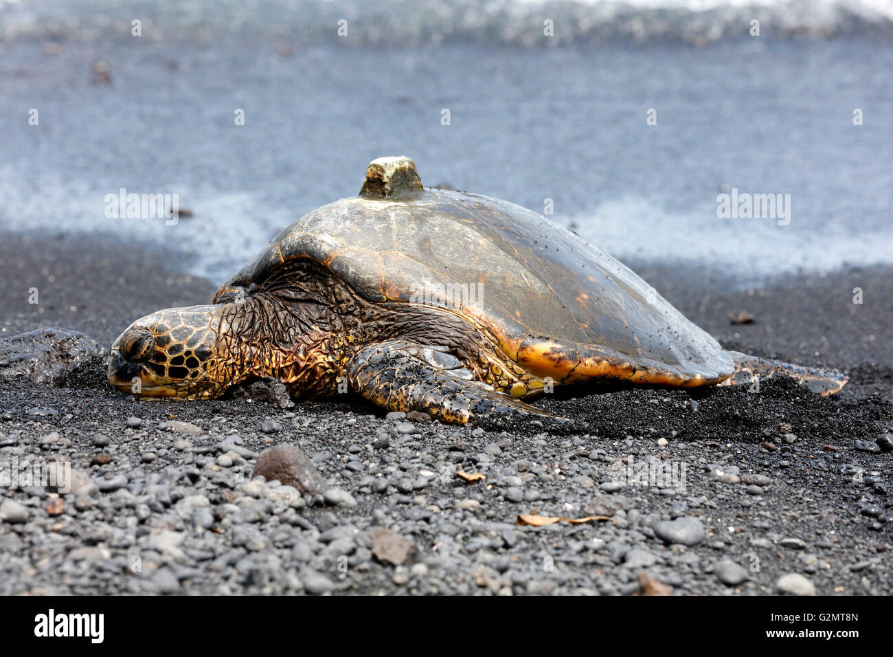 Green sea turtle (Chelonia mydas) with GPS receiver on shell, Black Sand Beach, Punalu'u, Big Island, Hawaii, - Stock Image