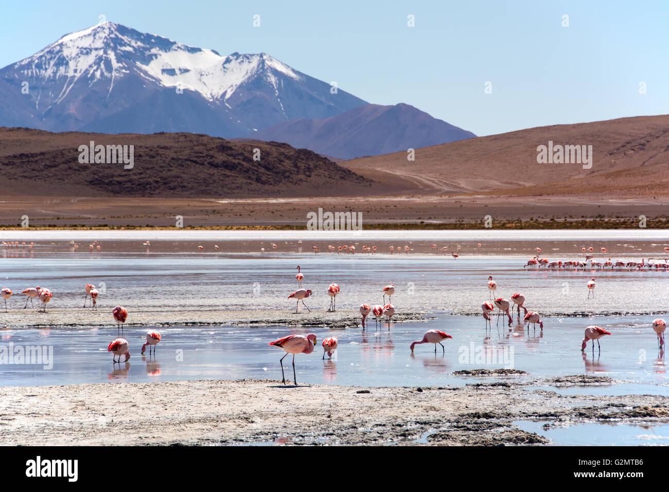 Laguna Hedionda with James's flamingos (Phoenicoparrus jamesi) in shallow water, near Uyuni, Lipez, Bolivia - Stock Image