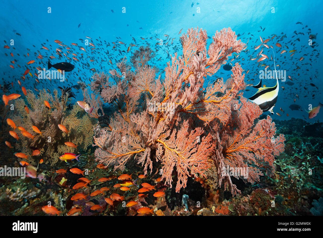 Swarm of various Anthias (Anthiinae) swimming above coral reef, knotted fan coral (Melithaea ochracea) - Stock Image