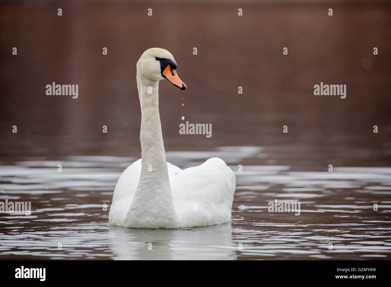 Stunning swan with drops of water from the beak Stock Photo