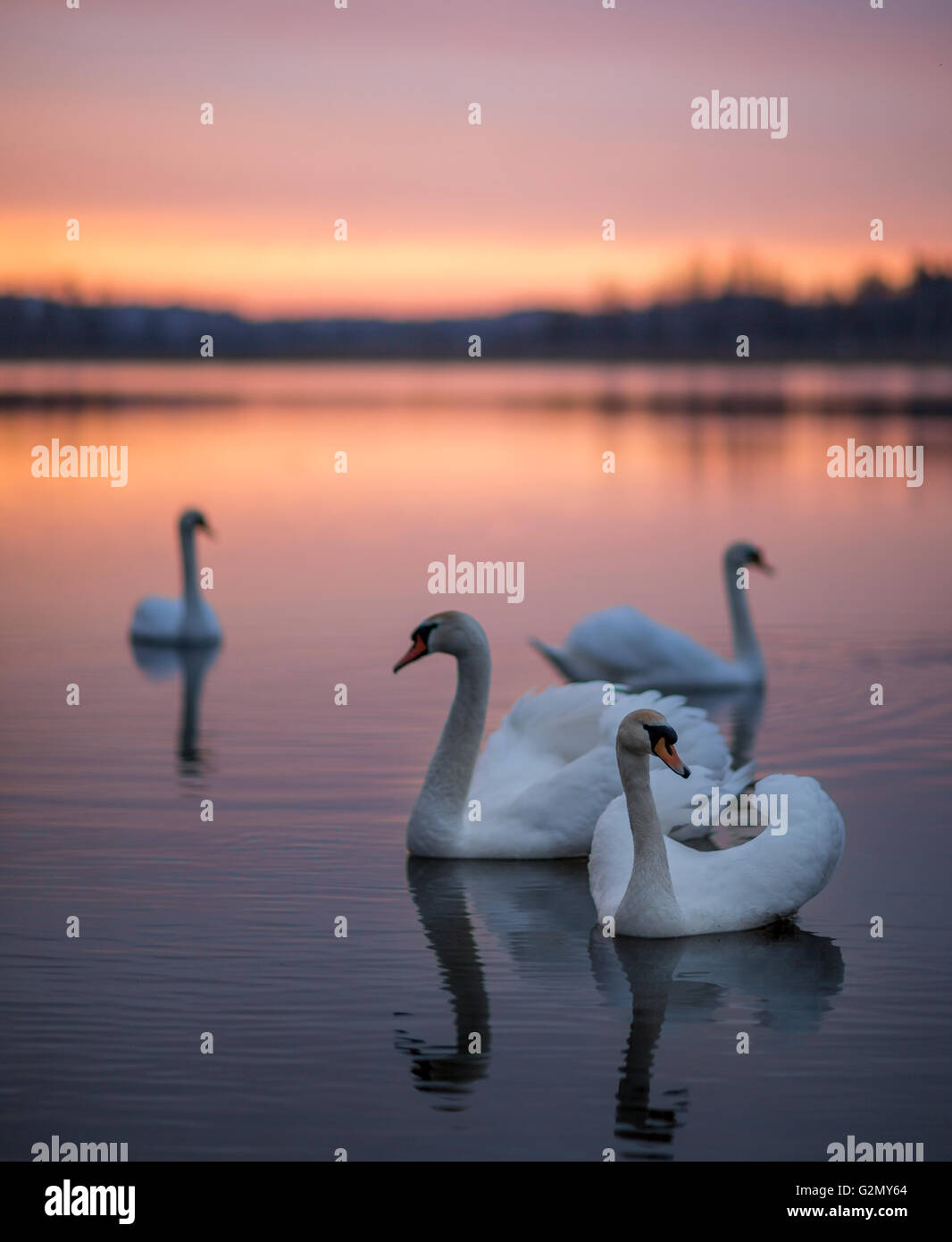 Group of swans on the lake with a mirror reflection during the beautiful sunset. Stock Photo
