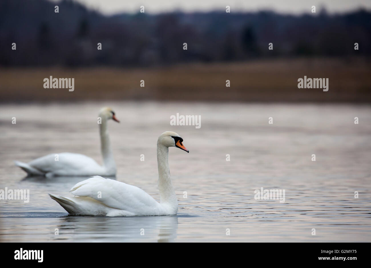 Romantic couple of swans are on the lake Stock Photo