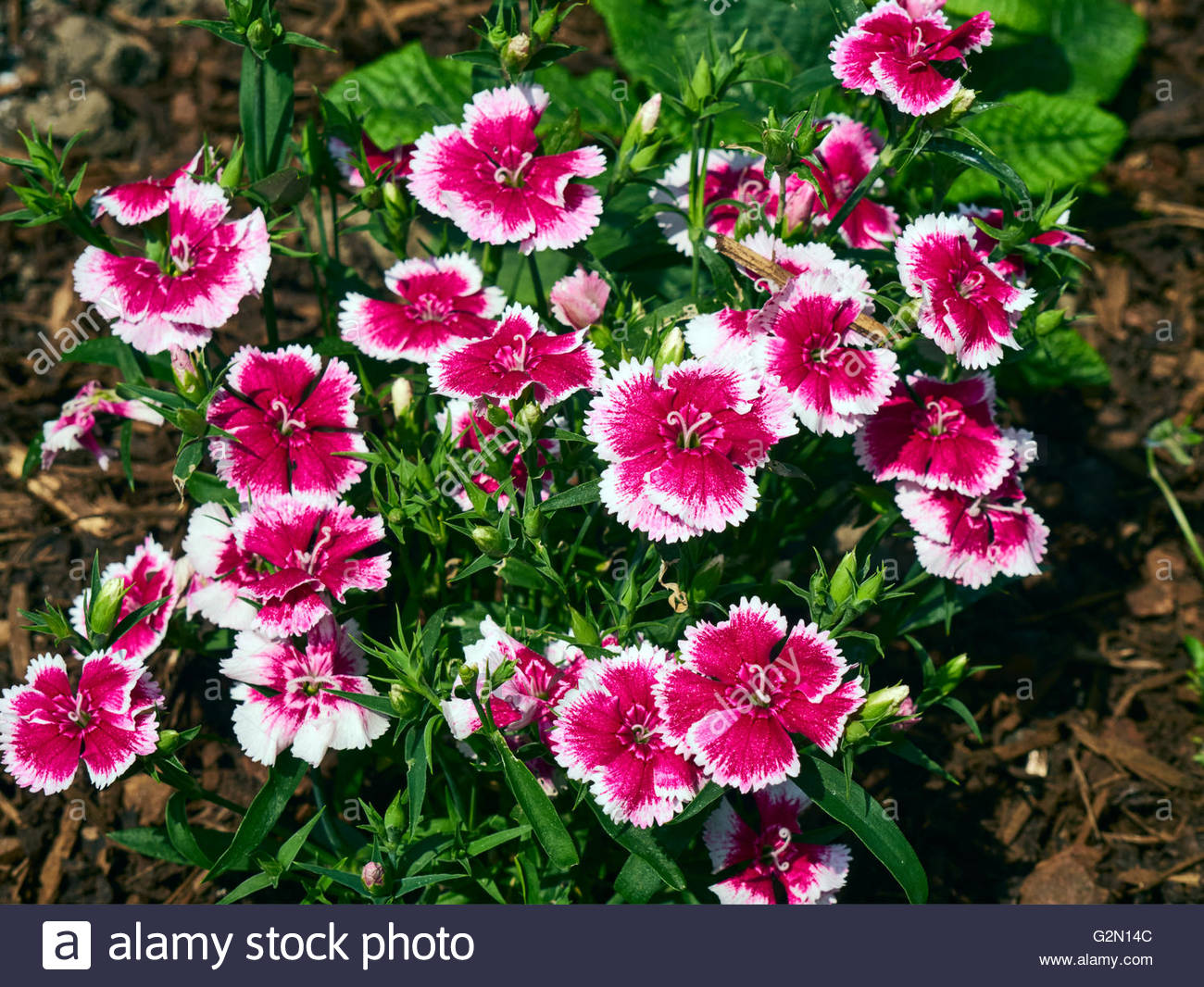 A pink and white dwarf dianthus barbatus sweet williams garden plant - Stock Image