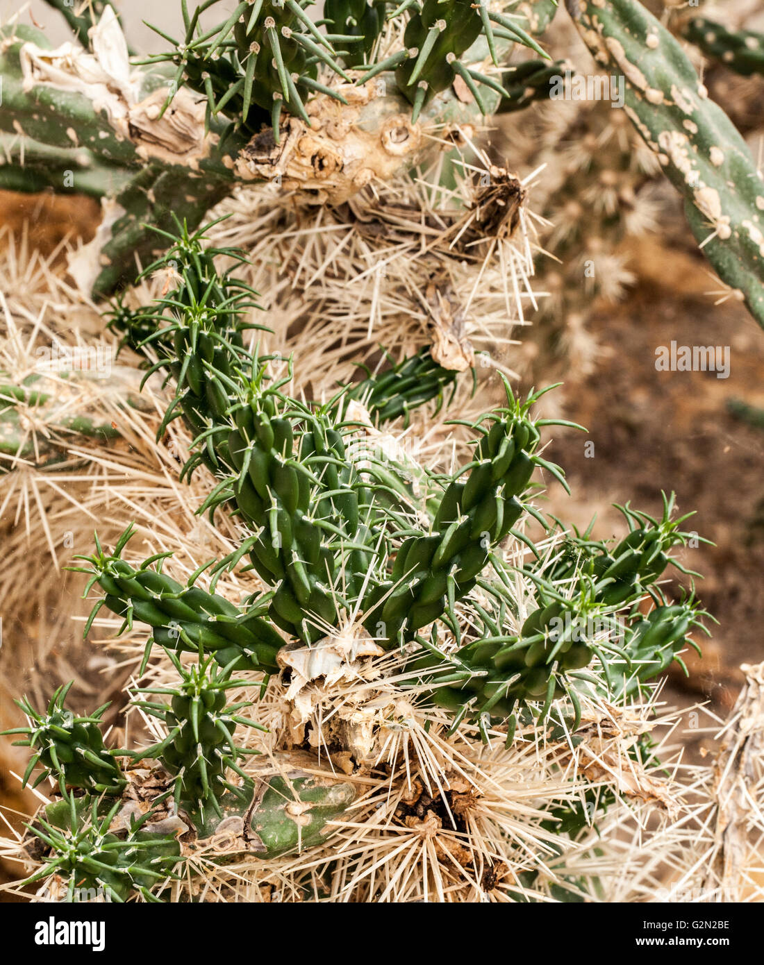 Opuntia rosea Stock Photo