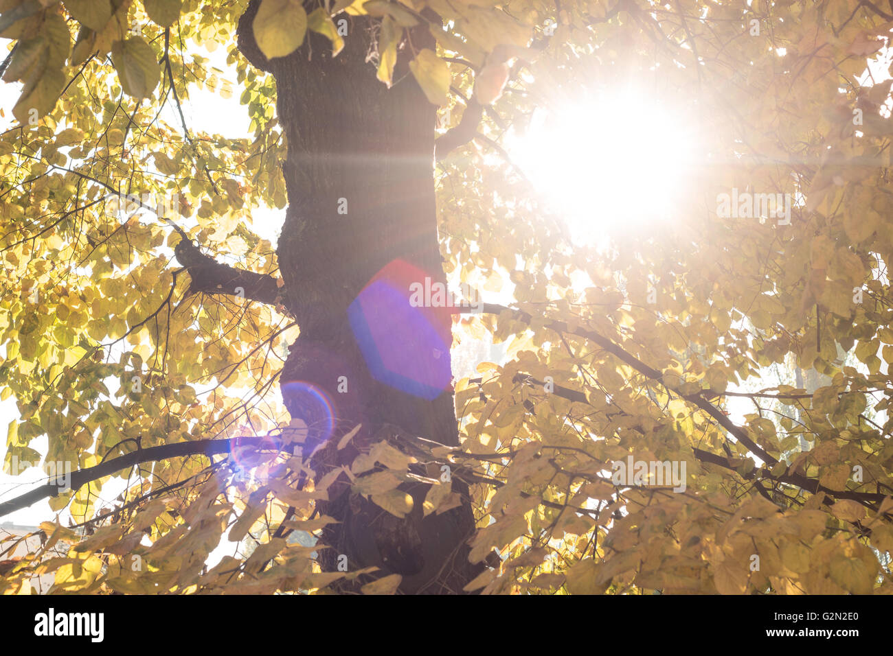 Autumn scenery with the sun warmly shining through the gold leaves of a beech tree - Stock Image