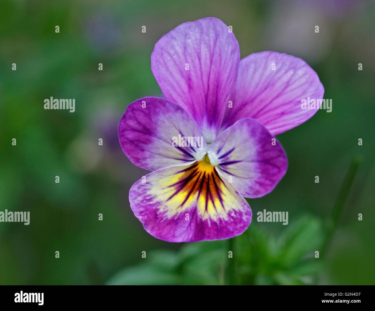 Pink/Purple Viola/Violet - Stock Image