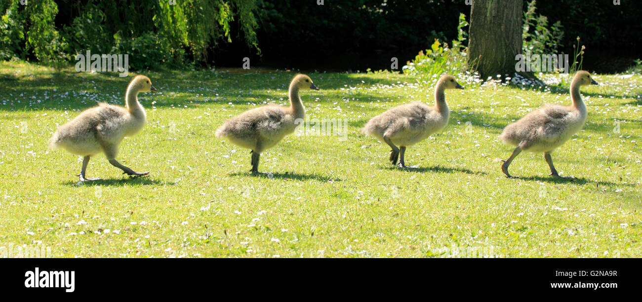Cananda Geese (Branta canadensis) goslings stepping it out, Kidderminster, Worcestershire, England, Europe - Stock Image