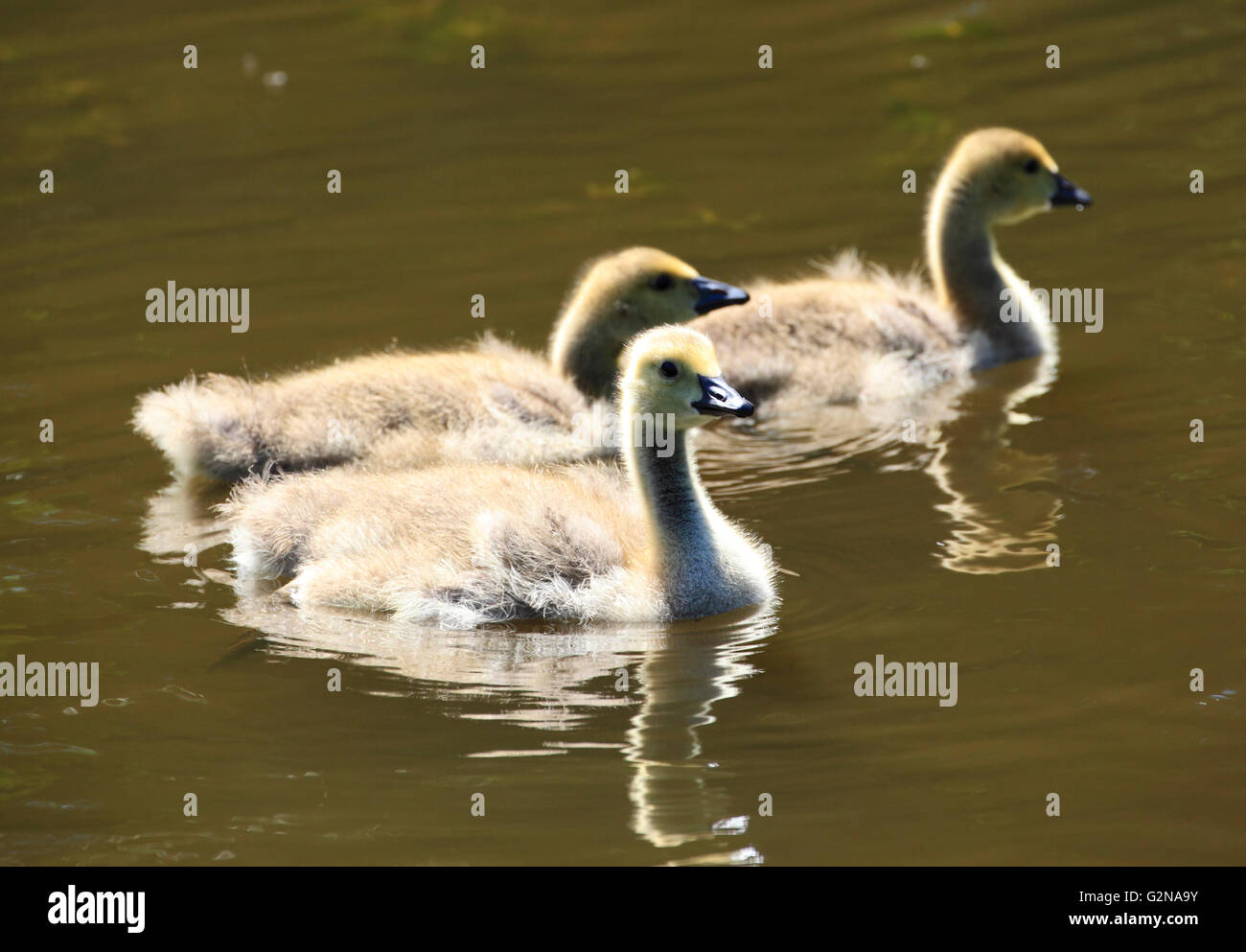 A trio of Cananda Geese (Branta canadensis) goslings, Kidderminster, Worcestershire, England, Europe - Stock Image