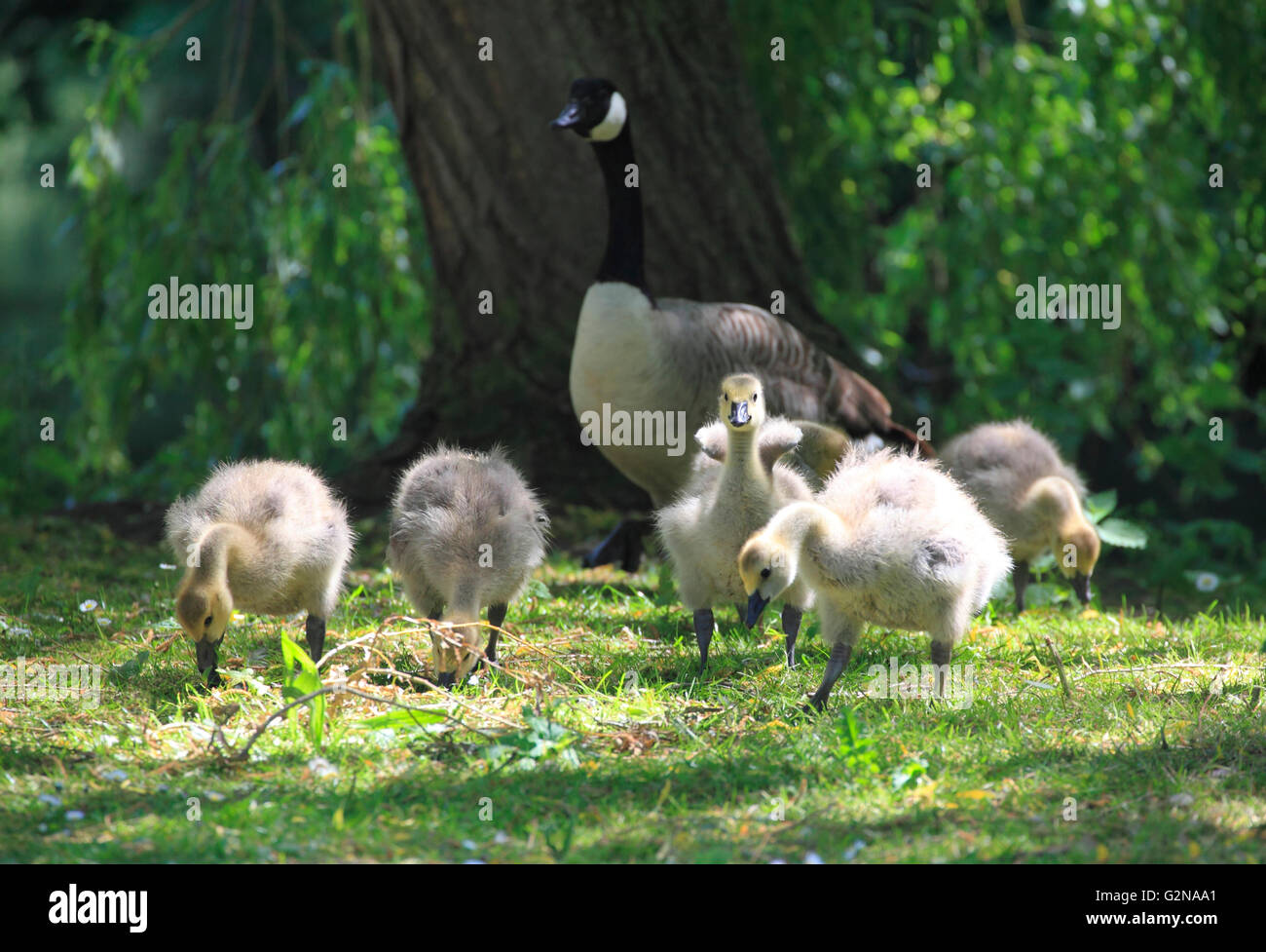 A Cananda Goose  (Branta canadensis) watches over her goslings, Kidderminster, Worcestershire, England, Europe - Stock Image