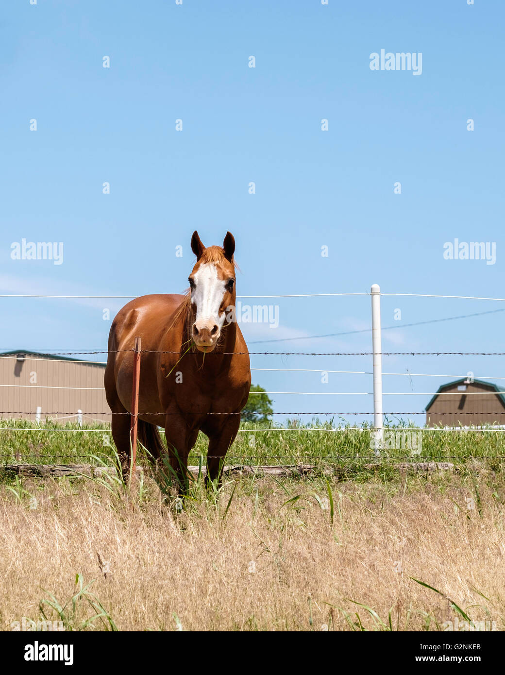 A sorrel gelding quarterhorse looks over a barbed wire fence from a pasture in Oklahoma, USA. - Stock Image