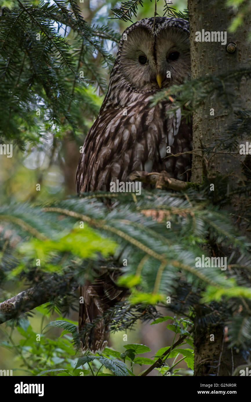 Ural owl (Strix uralensis) perched in pine tree in coniferous forest - Stock Image