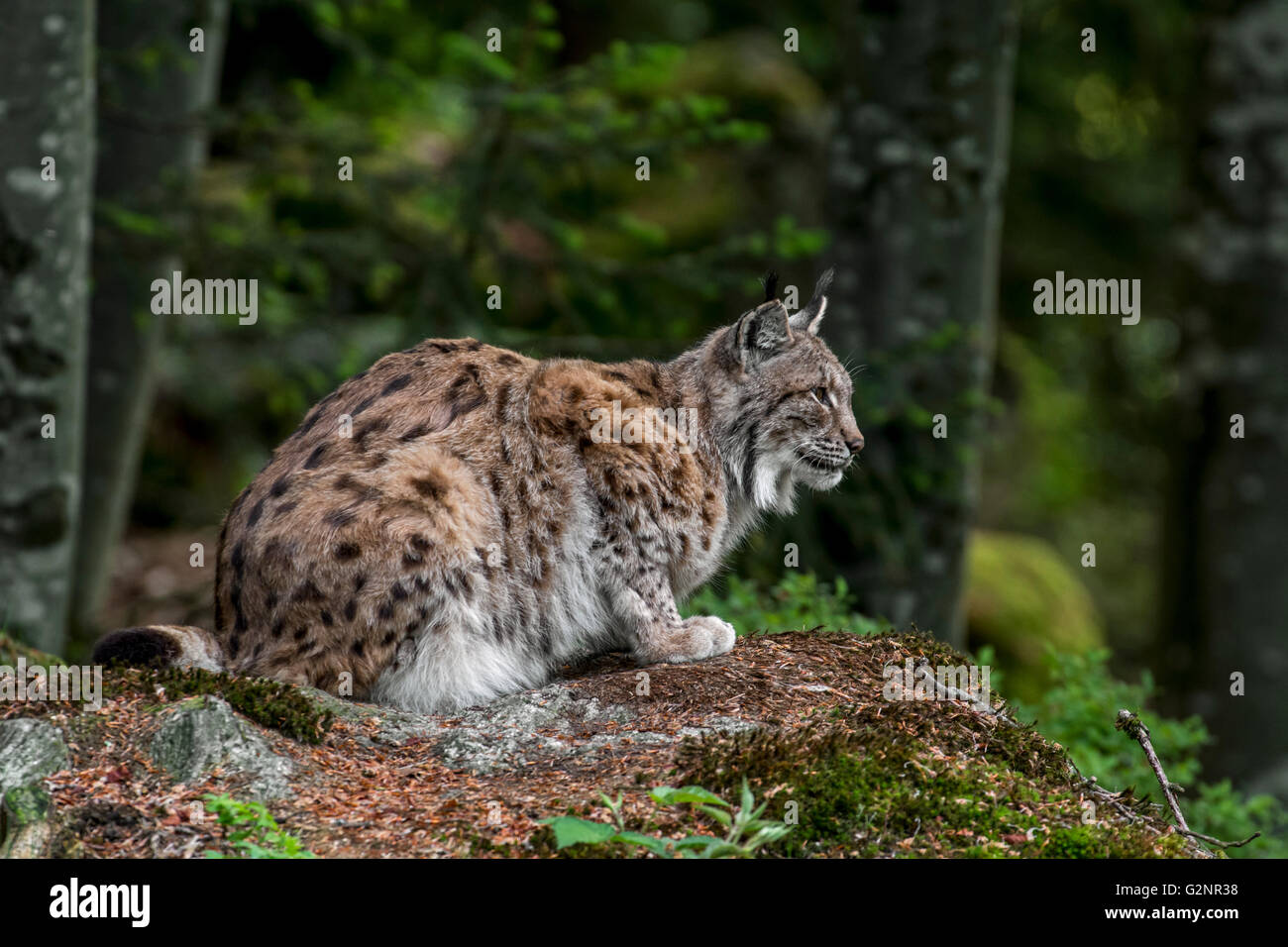 Crouched Eurasian lynx (Lynx lynx) looking for prey in forest - Stock Image
