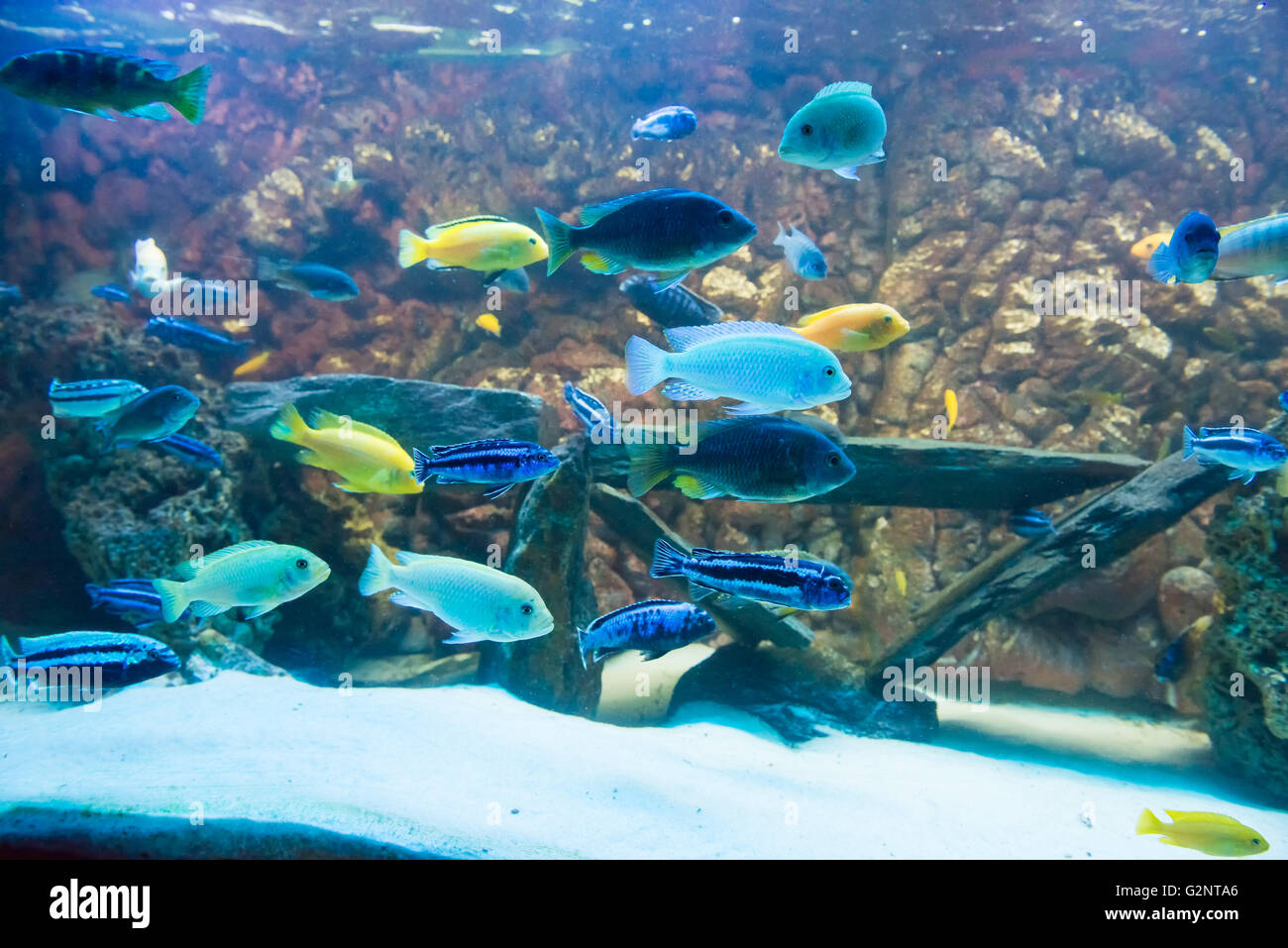 freshwater fishes cichlids. colorfull aquarium - Stock Image