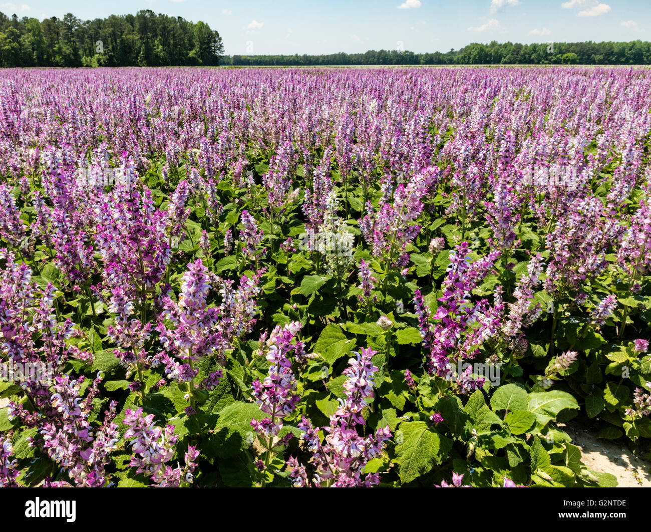 Field of lavender-colored Clary Sage (Salvia sclarea) in Robersonville, Martin County, NC USA - Stock Image