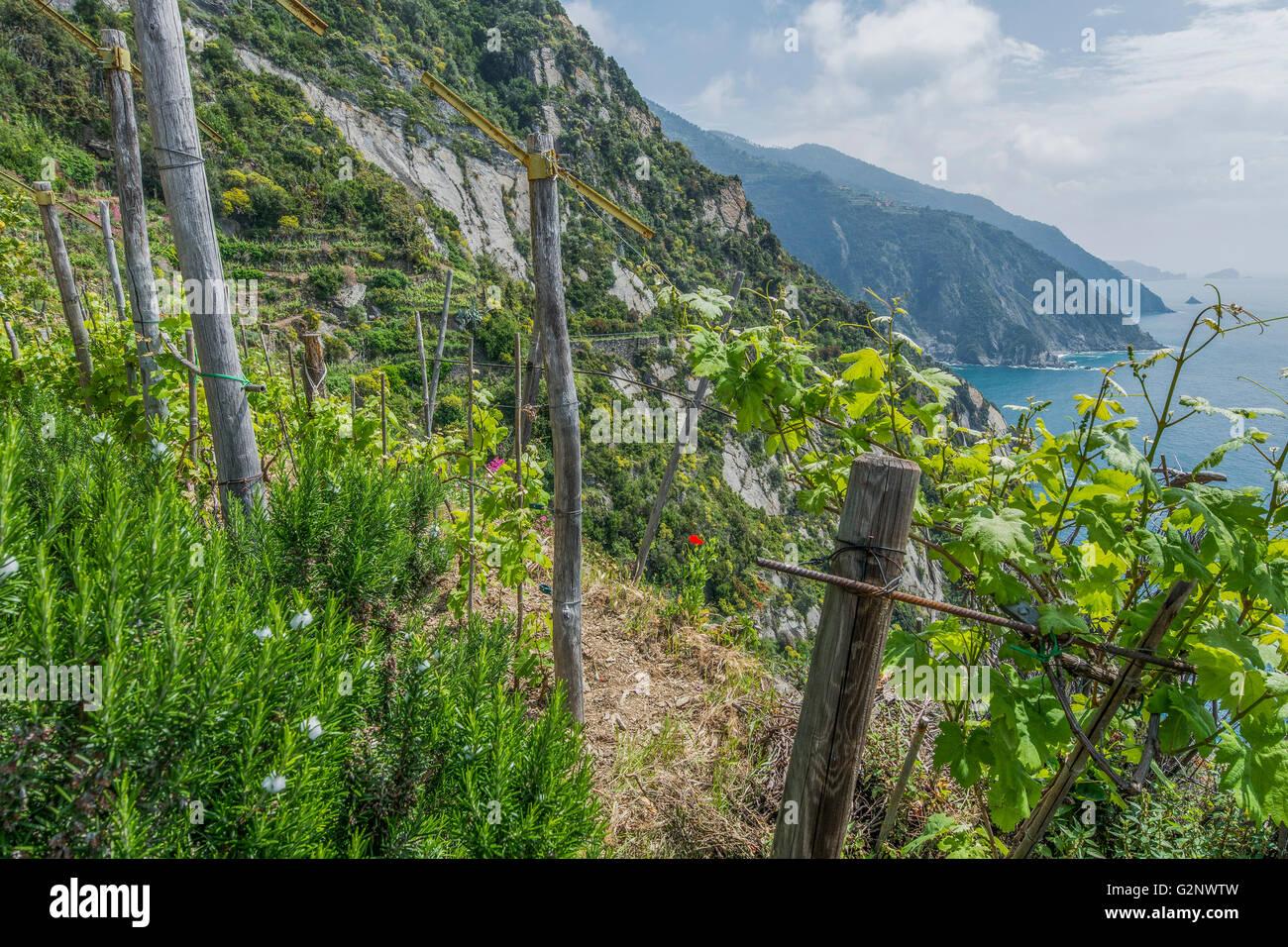 https://c8.alamy.com/comp/G2NWTW/viticultural-terraces-of-riomaggiore-near-la-spezia-liguria-G2NWTW.jpg