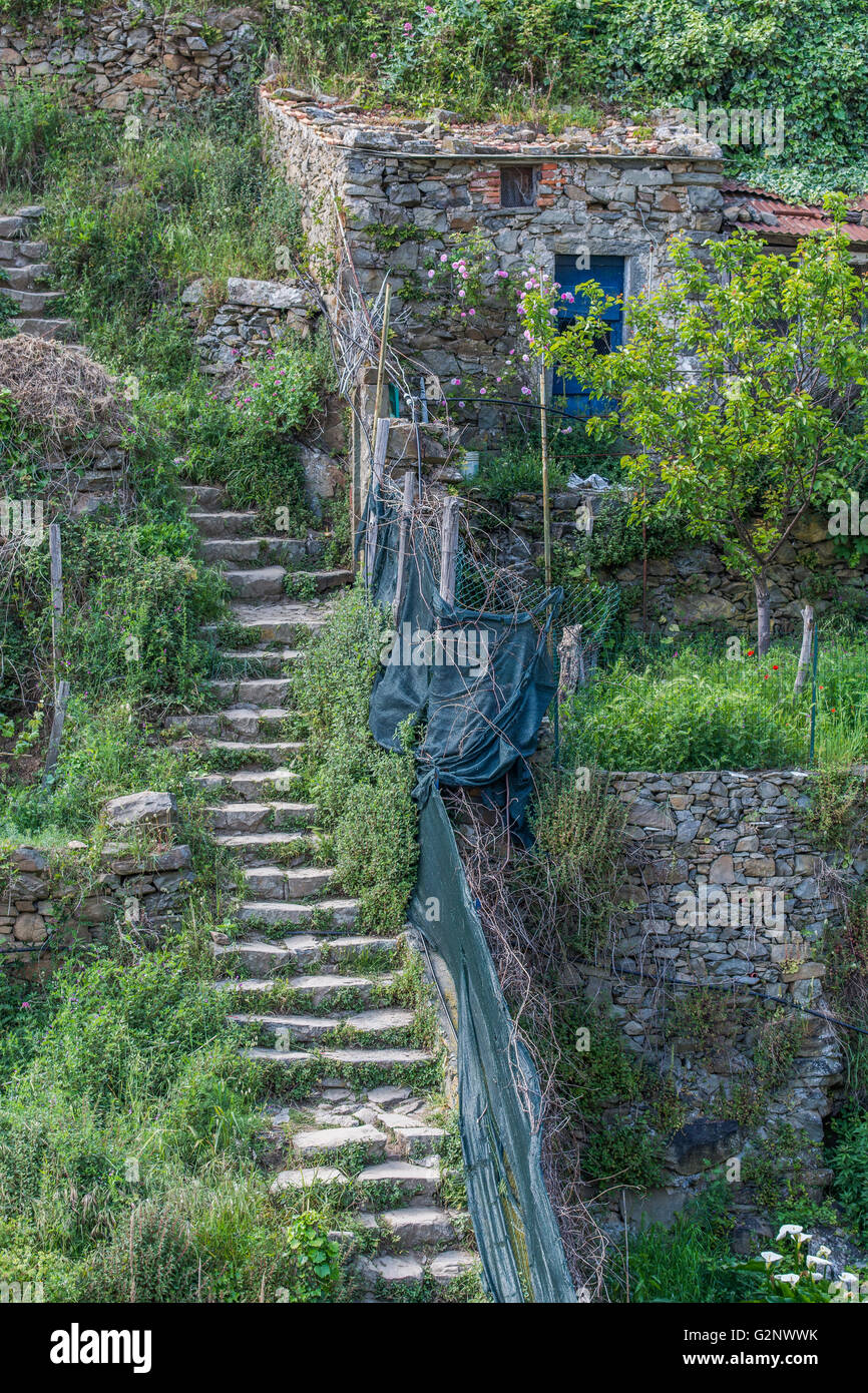 viticultural terraces above Riomaggiore near La Spezia, Liguria, Italy - Stock Image