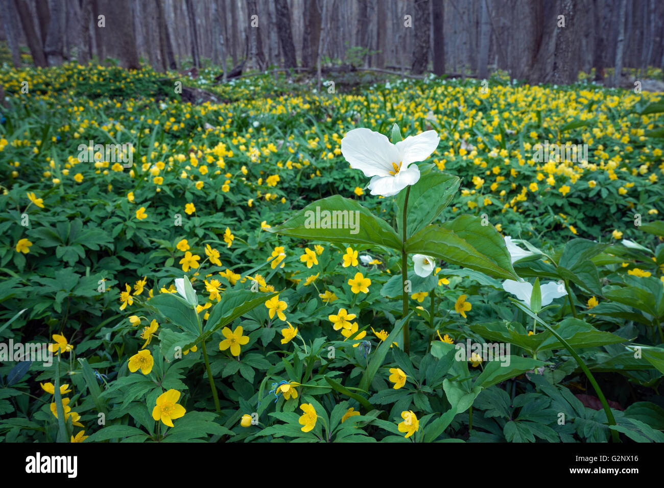 A Single Trillium Stands Out in a Carpet of Yellow Wildflowers Stock Photo