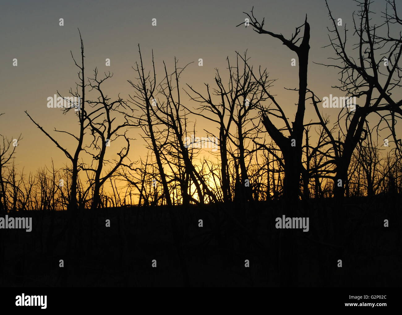 Silhouette of trees against a sunset - Stock Image