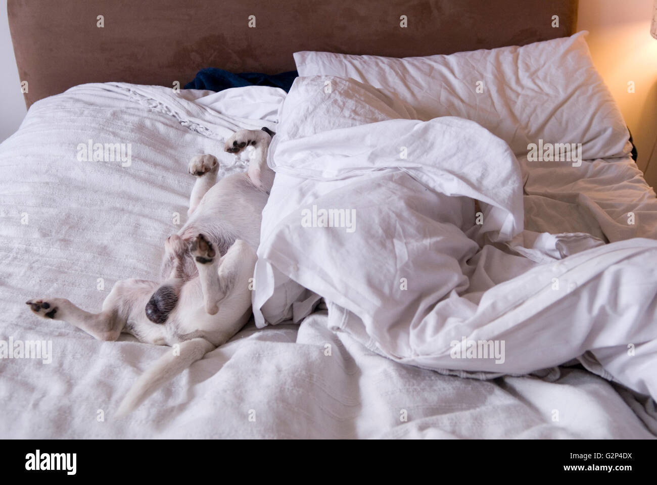 Dog asleep on bed. - Stock Image