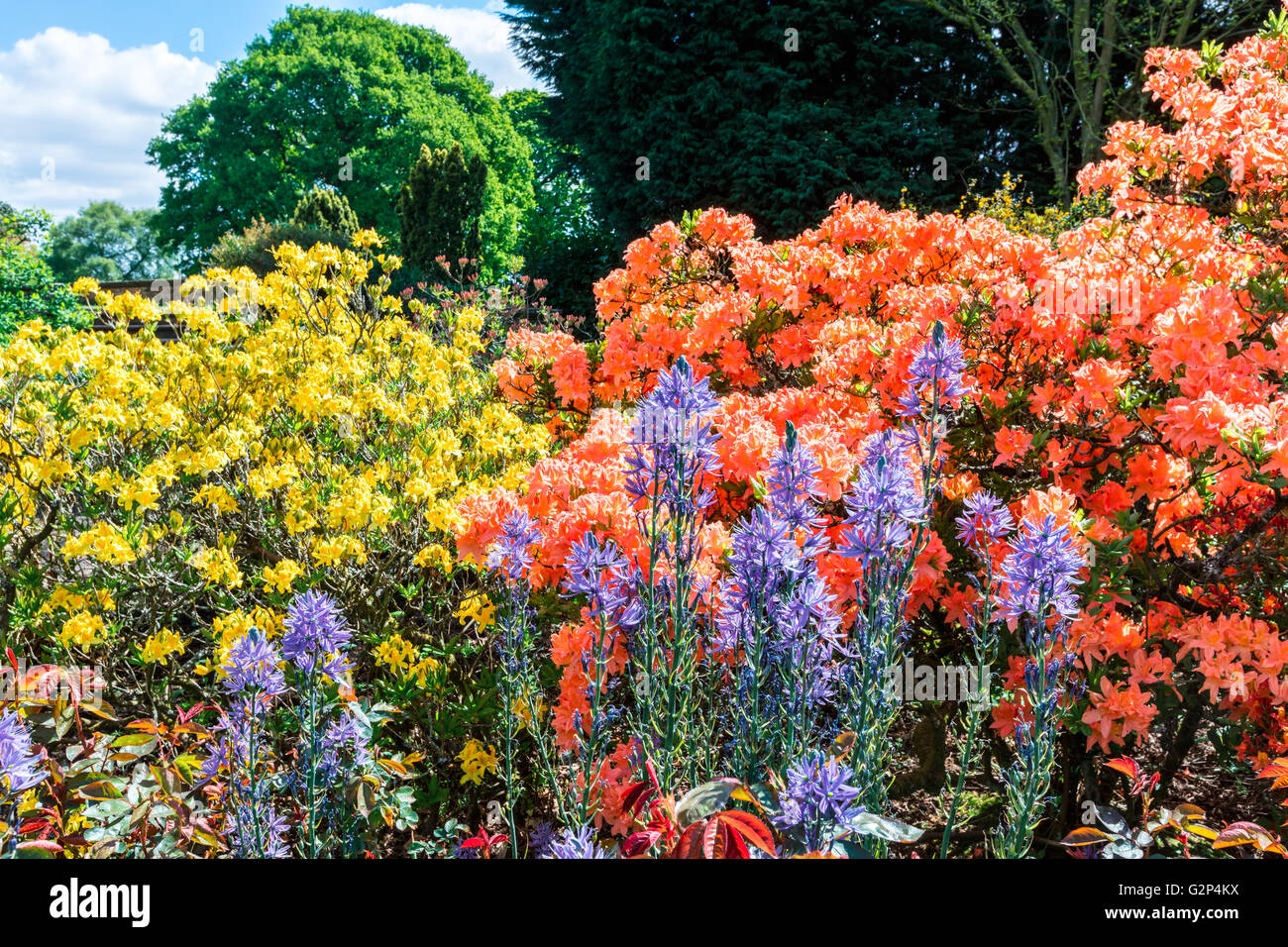 Flowering plants and shrubs in an English garden. - Stock Image
