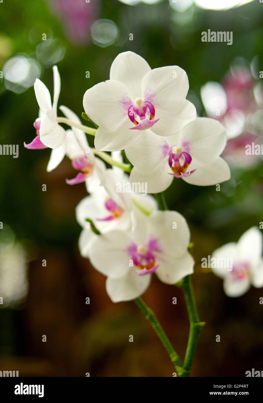 White orchid in close up natural lighting - Stock Image