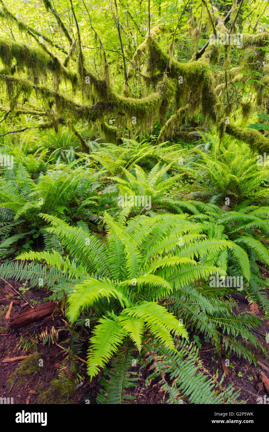 Sword Ferns and moss-covered Vine Maple, May, Hoh River rain forest, Olympic National Park, Washington - Stock Image