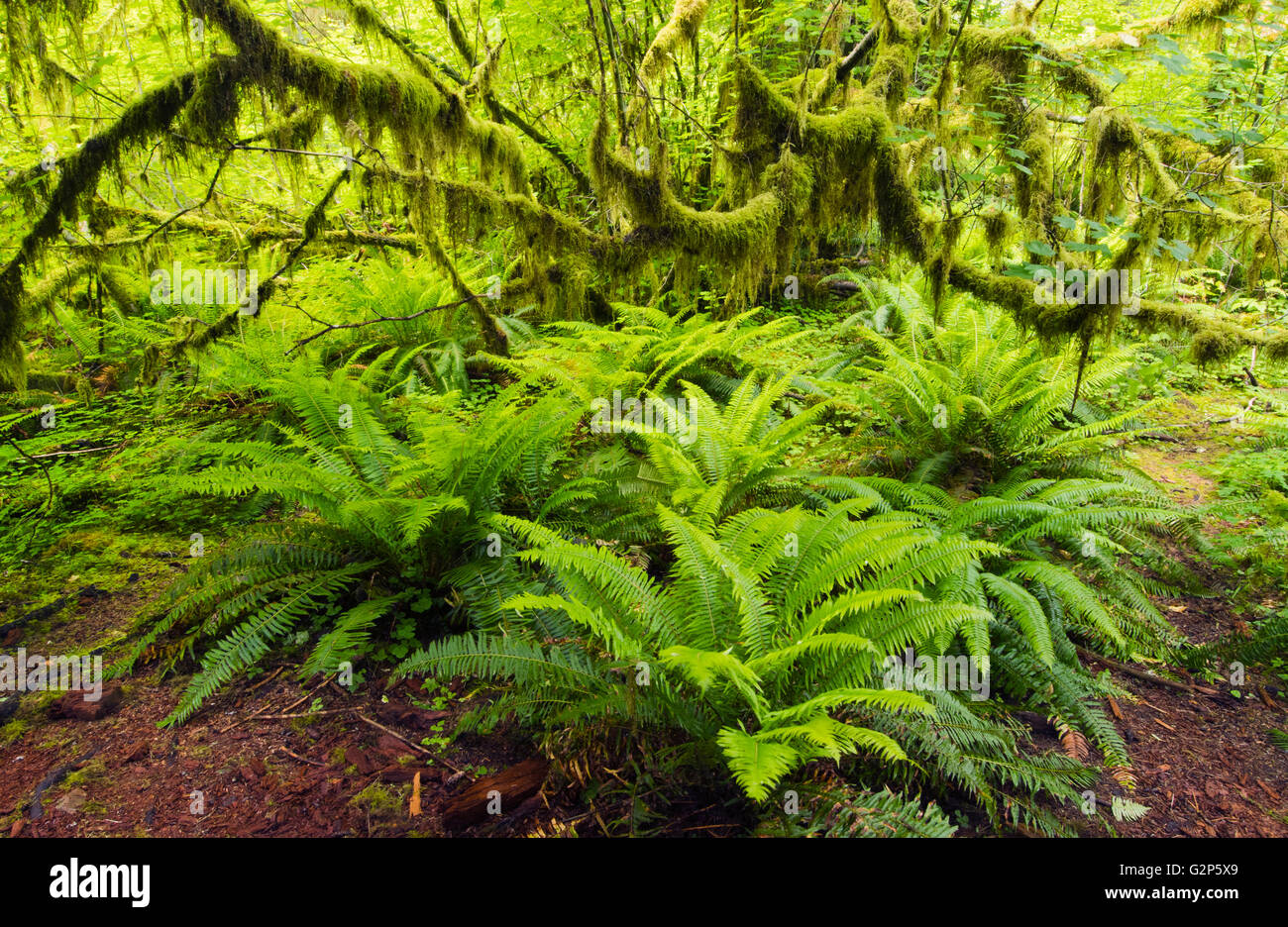 Sword ferns and moss-covered Vine Maple, Hall of Mosses, Hoh river valley, Olympic National Park, Washington, May - Stock Image