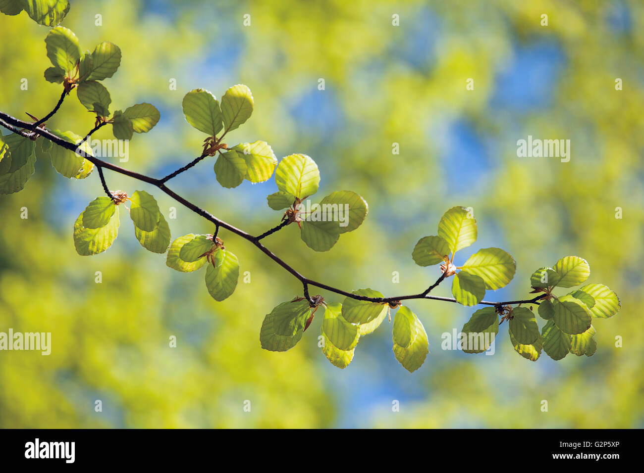 spring beech twig with fresh leaves on green and blue background - Stock Image