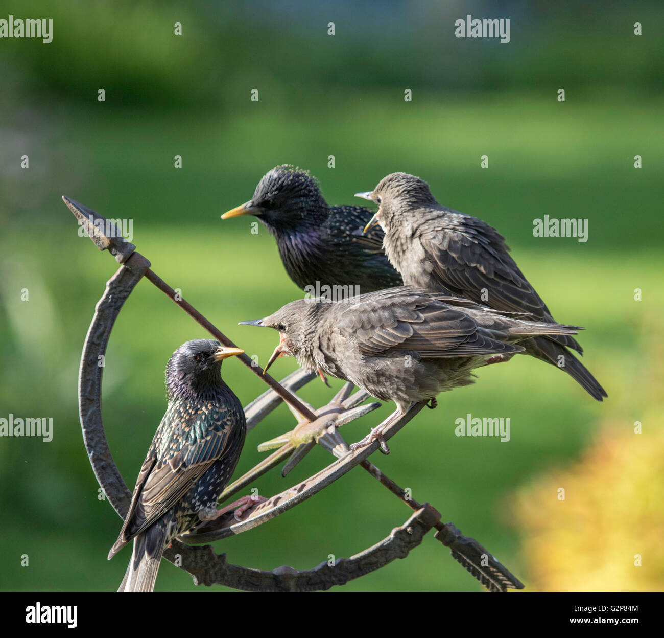 European Starlings (Sturnidae) with juveniles in a garden, England, UK - Stock Image